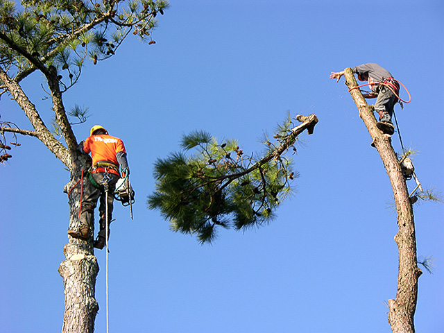Image result for Tree Pruning Service